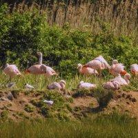 Фламинго на отдыхе :: Николай Гирш