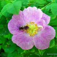 Пчёлка на цветке шиповника :: Константин Ординарцев