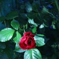 Роза красная цвела :: Константин Строев