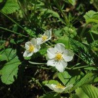 Лесные ягоды цветут  :: nika555nika Ирина