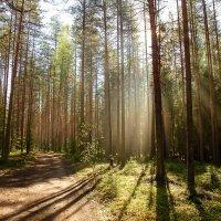 Утро в Карельском лесу :: Сергей
