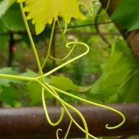 Усики виноградные :: Наталья (D.Nat@lia)