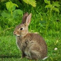 Кролик на полянке :: Николай Гирш