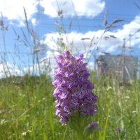Орхидея :: Сапсан
