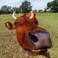 Любопытная корова :: Юрий Глаголистов