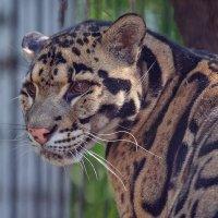 Дымчатый леопард :: Владимир Габов