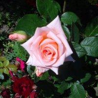 Красавица сада :: Наталья Красильникова