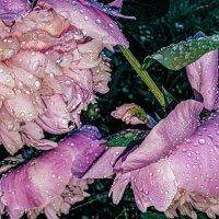 Пионы после дождя. :: О. Ф.