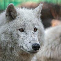 Полярный волк :: Владимир Габов
