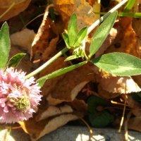 Последний цветок клевера! :: Ueptkm