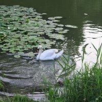 а белый лебедь на пруду... :: Любовь ***