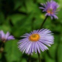Лютики-цветочки у меня в садочке. :: Анатолий. Chesnavik.