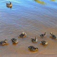 Великие Луки. Утка с птенцами на берегу Ловати... :: Владимир Павлов