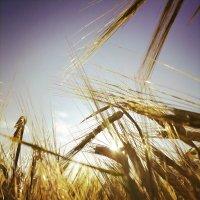 Солнечные колосья :: mAri