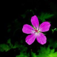 Сияние луговой герани :: Лидия Бусурина