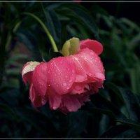 Эти летние дожди (Мелодии июльского сада) :: muh5257