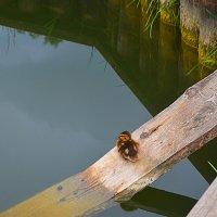 Остался один. Уже неделю утёнок живёт в озерке в крепости... :: Владимир Павлов