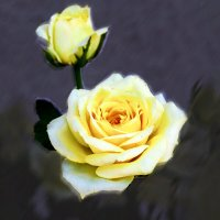 Чайная роза :: Евгений