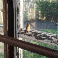Птенец соволья, заблудившийся в теплице :: Сергей Воинков