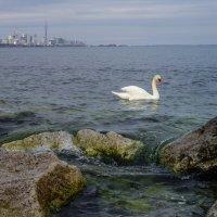 Лебедь в оз. Онтарио. А вдали башни центра Торонто :: Юрий Поляков