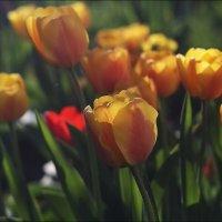 Тюльпаны :: Владимир Стаценко