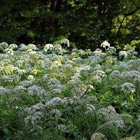 Сныть цветет :: Наталья Лунева
