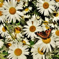 О ромашках и бабочке :: Aida10