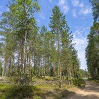 Сосновый лес :: leo yagonen