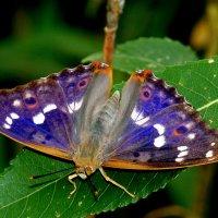 ну вот и бабочки...73 :: Александр Прокудин