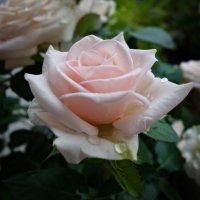 Как нежно розы расцвели...на моем балконе... :: Galina Dzubina