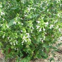 Чистец однолетний  .  . Общий вид цветущего растения. Раскидистый куст до 70 см. :: ivan