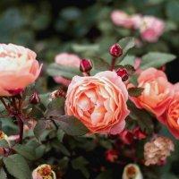 розы :: Pasha Zhidkov