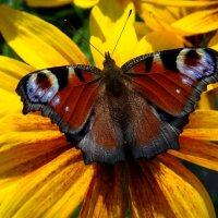 Бабочка-красавица) :: Любовь