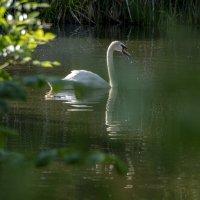 У нас тоже есть лебединое озеро, только по телевизору не показывают. :: Яков Реймер