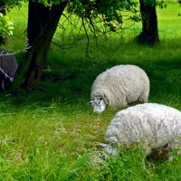 Голландские овечки :: Нина Синица