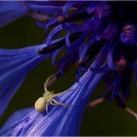 Цветочный паук, или мизумена косолапая. :: aWa