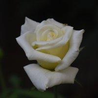 Вечерняя роза :: Константин