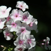 И своим благоуханьем заполняют летний сад :: Татьянка ***