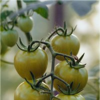 Золотые помидоры. :: aWa