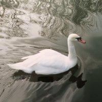 Лебедь :: Novikov38 Новиков