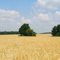 Средь высоких хлебов.. :: Андрей Заломленков