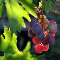 Время винограда :: Любовь Р