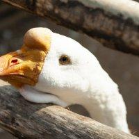 гуси-лебеди :: Константин
