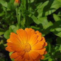 Цветок календулы - оранжевое чудо :: Yulia Raspopova