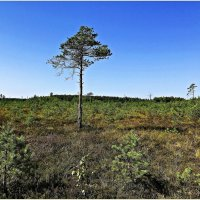 Сосна на болоте. :: Валерия Комова