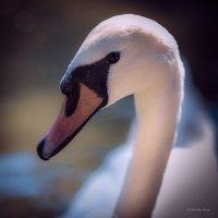 Лебедь :: Дарья А