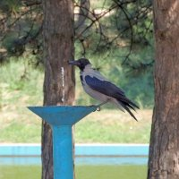Ворона на водопое :: Юрий Тихонов