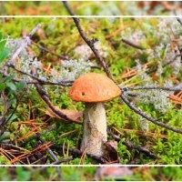 Осенний гриб, подосиновик... в народе красноголовик... :: Александр Широнин
