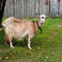 коза :: elena manas