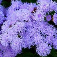 Агератум, нежность цветения в осени :: Надежд@ Шавенкова